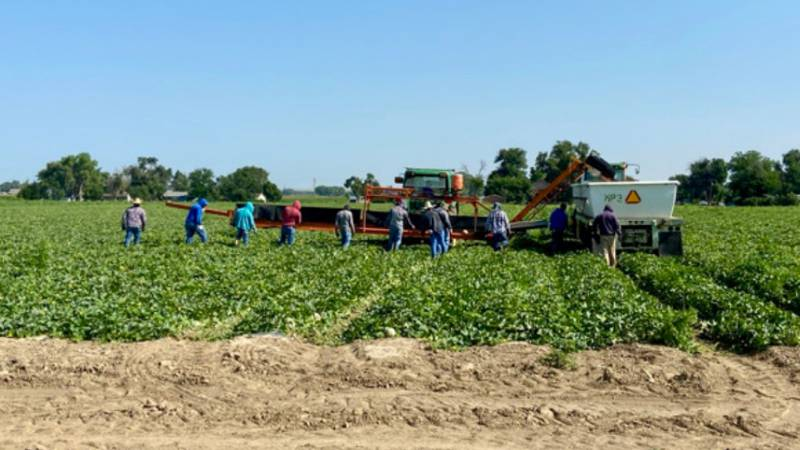 Rocky Ford Growers Association member farms are picking sweet & juicy cantaloupe melons