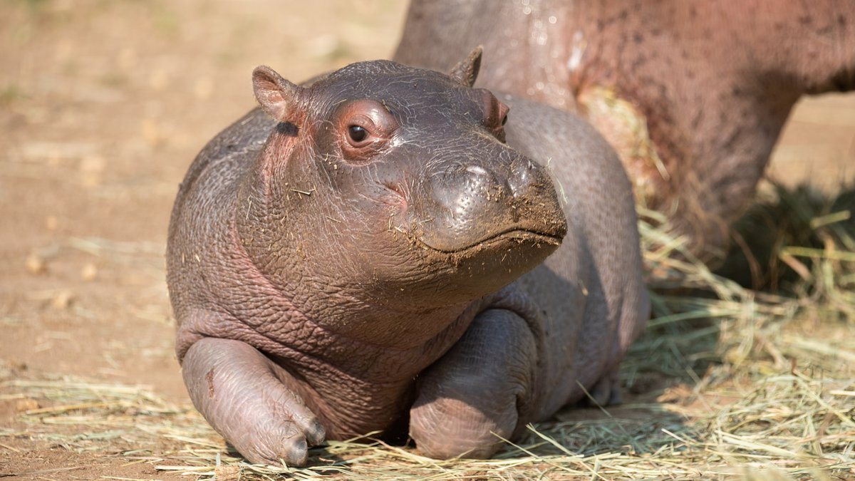 Omo is the first hippo born at the Cheyenne Mountain Zoo in more than 30 years!