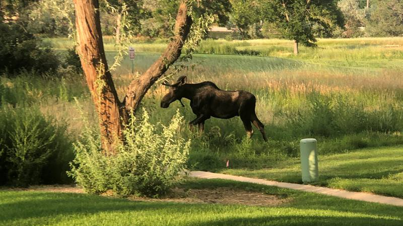 A moose is seen walking around the Country Club of Colorado off Highway 115 on July 18, 2021.