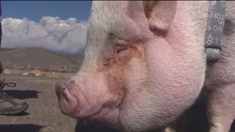 A pig named Kevin Bacon was forced to evacuate a Colorado mountain town with his family on...