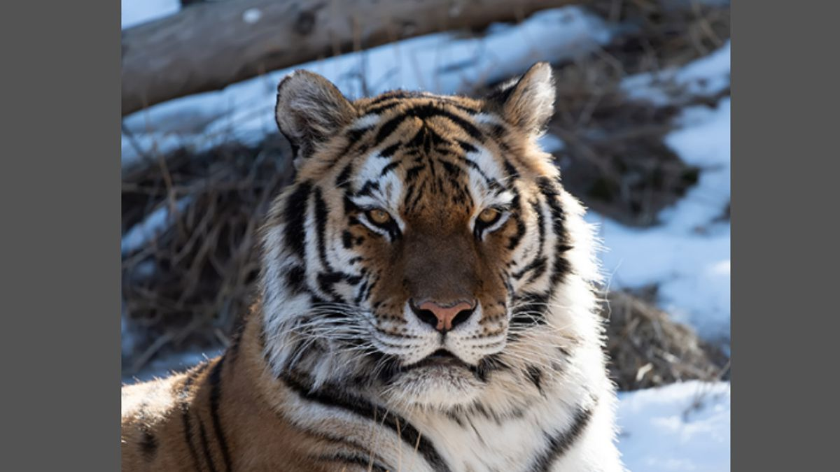 Savelii, one of the tigers at Cheyenne Mountain Zoo passed away on Thursday according to the zoo.
