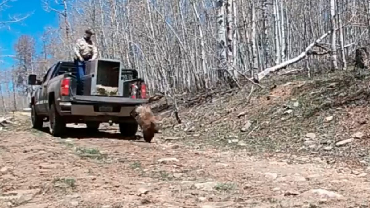 CPW released a bear back into the wild after it was found injured and eating from bird feeders.