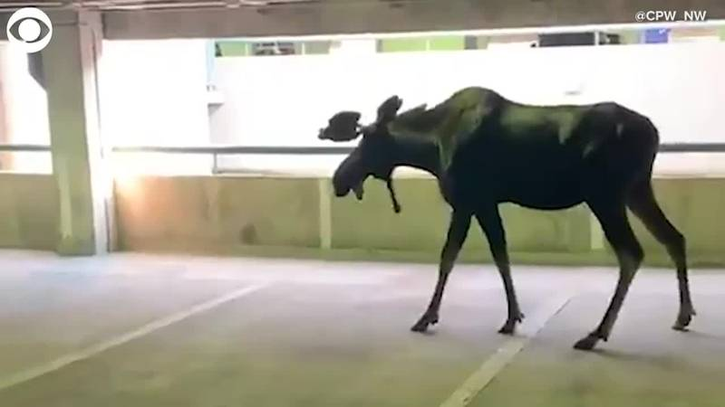 Moose on the loose: What would you do if you saw a lost moose in a parking garage? Check out...