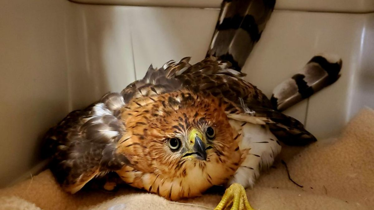 Colorado Parks and Wildlife are currently taking care of a hawk that may have flown into a...