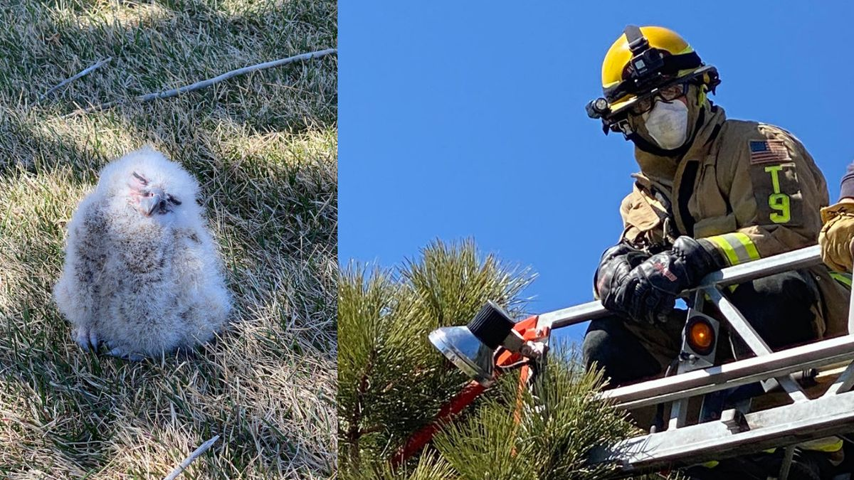 Colorado Springs firefighters helped get two baby great horned owls back in their nests.
