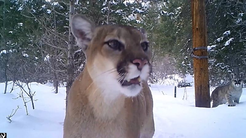 Mountain lion and 3 cubs spotted in Colorado on March 17, 2021