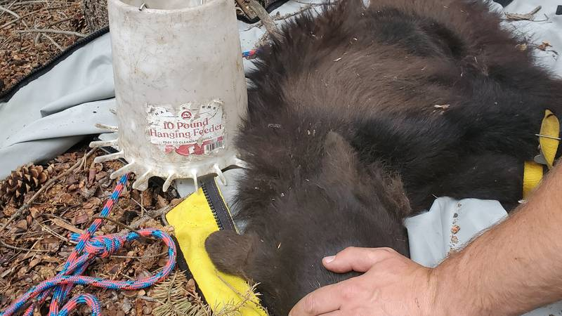 Colorado Parks and Wildlife officers assisted a bear with a chicken feeder stuck around its...