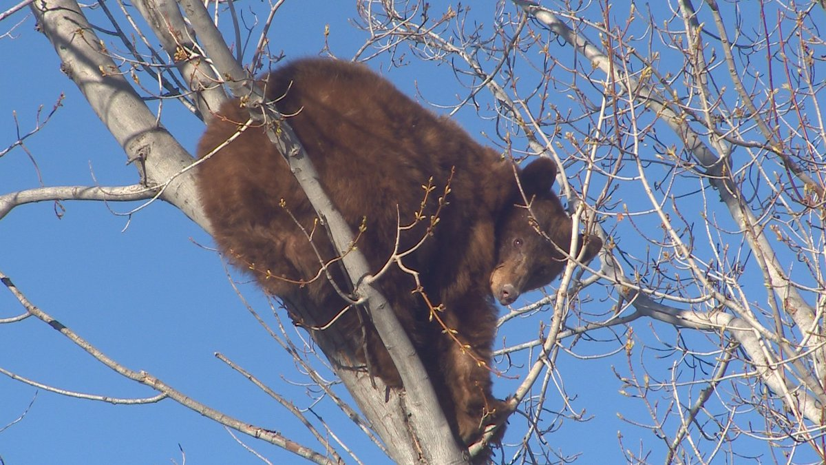 The bear spent hours in a tree in downtown Colorado Springs before wildlife officers got it down.