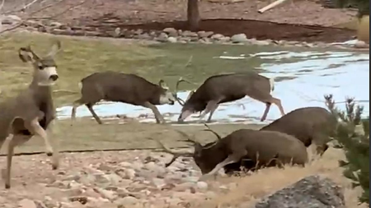 Kimberly G. captured the moment two sets of bucks were fighting each other in Colorado Springs...