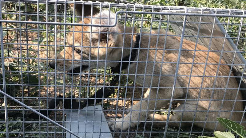 A coyote pup had to be euthanized in Colorado.