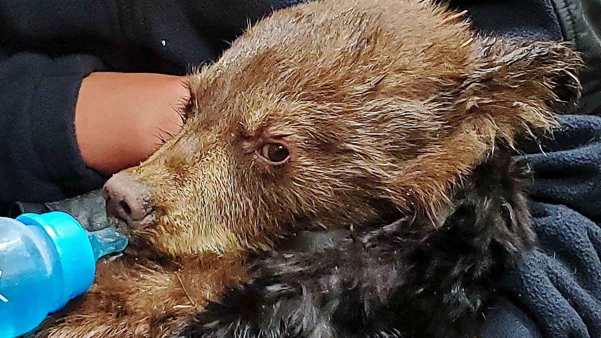 Colorado wildlife officers gave a young bear blankets and fluids after the cub was found near...