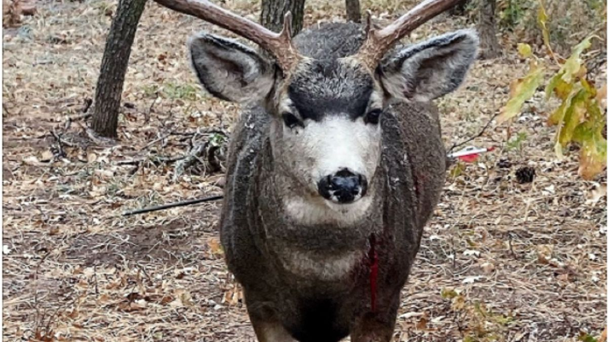 CPW was forced to euthanize a deer that had been shot by an arrow.