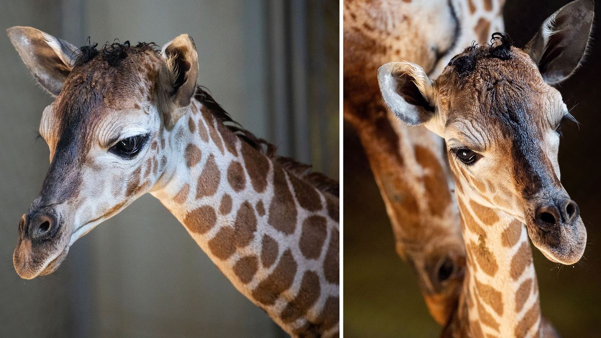 Bailey, an 8-year-old reticulated giraffe at Cheyenne Mountain Zoo, welcomed her very first calf to the herd on 9/28/20.