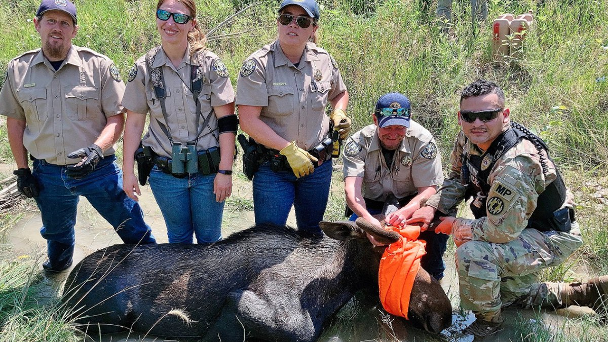 A moose was captured on Fort Carson property and relocated to the mountains 7/22/21.