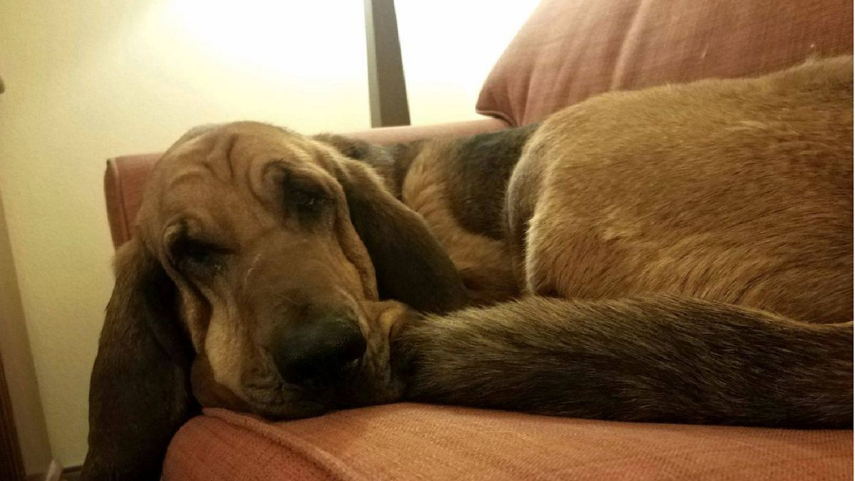 Bloodhound Jessie.  Photo courtesy Jefferson County Sheriff's Office July 5, 2019.