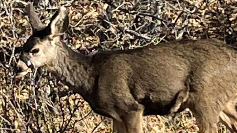 CPW needs help tracking down this deer spotted in Castle Rock on 11/23/20.